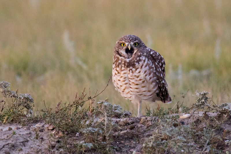 Burrowing Owl Grasslands-7.jpg