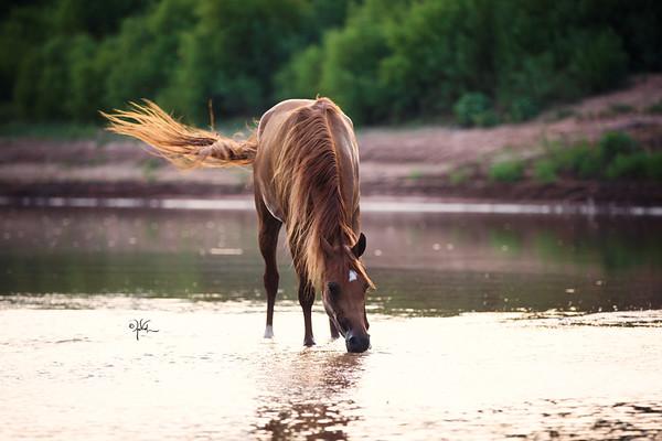 ISRA Arabians