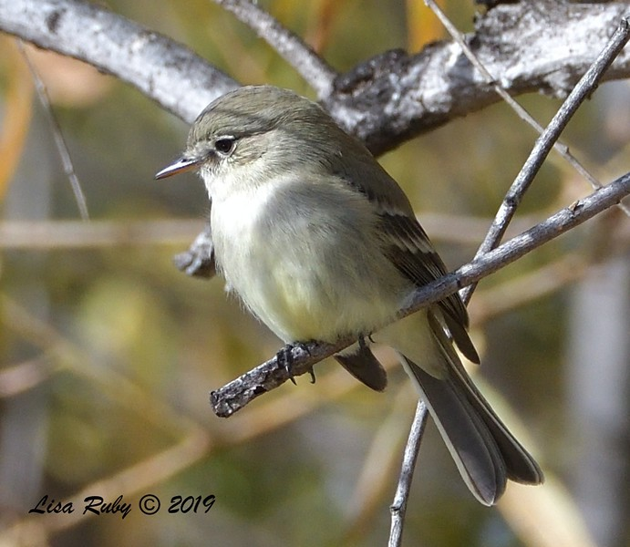 Gray Flycatcher  - 12/01/2019 - Lindo Lake
