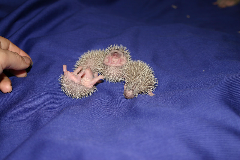 Litter - BB and Buttercup (04/25/2004)  5-6 days old. Buttercup's maternal and foster litters.  Filename reference: 20040501-022110-HAH-Hedgehog_Babies