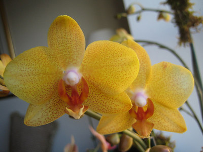 Orchid04