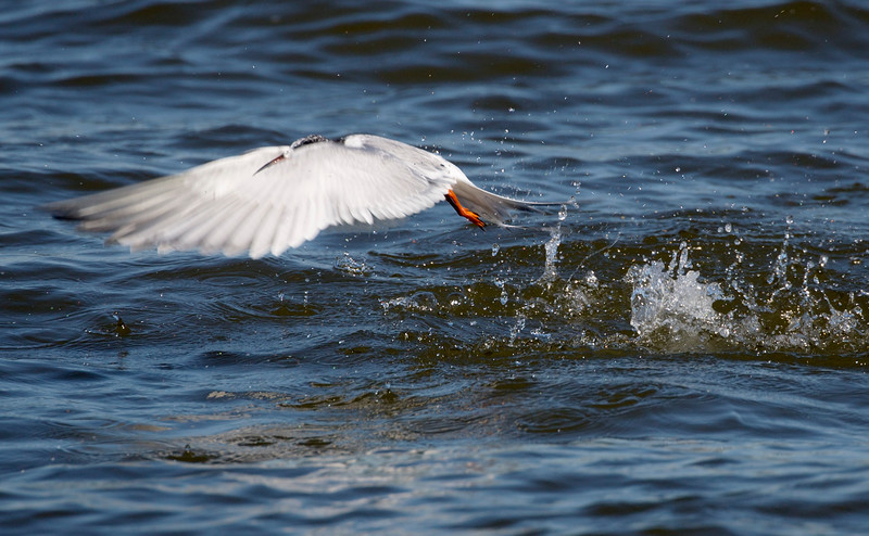 A Common Tern emerges from its fishing dive.