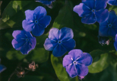 Omphalodes 'Cherry Ingram' close-up