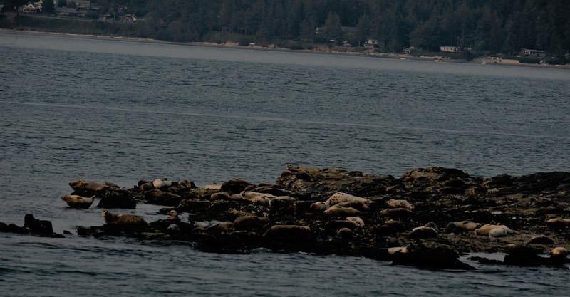 Seals on a Rock.JPG