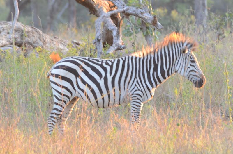 146 - Zebra - Zambia - Anne Davis