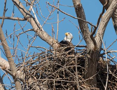 Bald Eagle Magee Marsh
