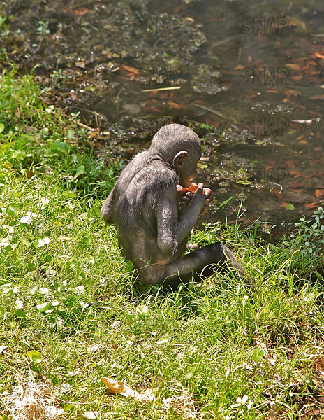 A young Bonobo (Pan paniscus) is eating beside a pool of water at the Jacksonville Zoo and Gardens.