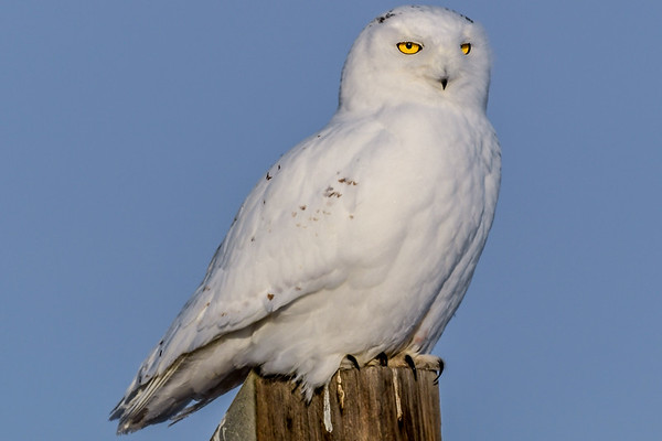 2-6-19 **Snowy Owl