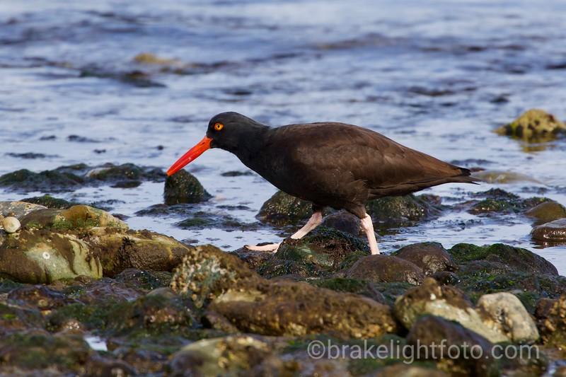 Black Oyster Catcher