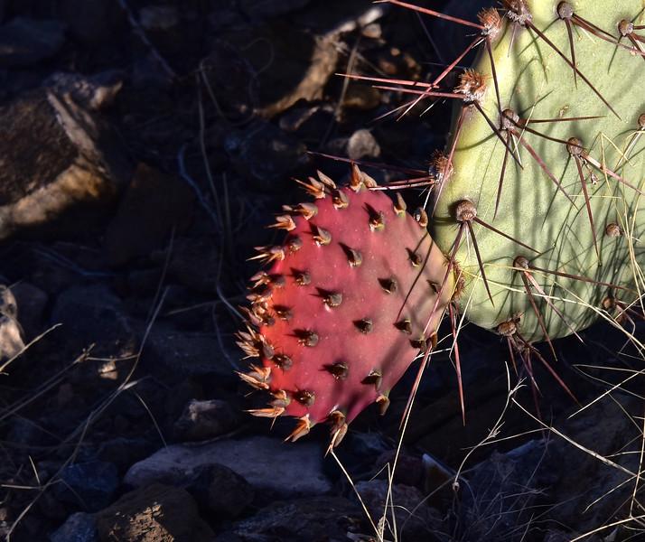 NEA_1163-Prickly Pear-new growth.jpg