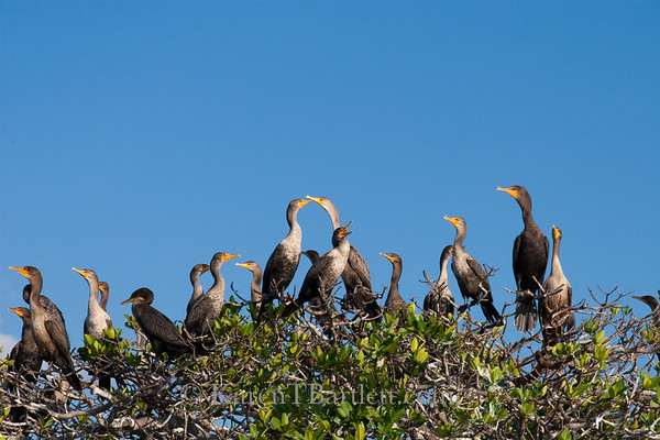 9035 Cormorants in a mangrove rookery in the Ten Thousand Islands.