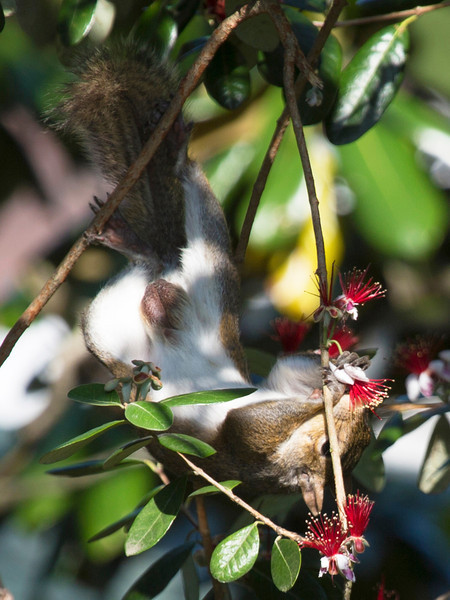 Squirrel undergoes great contortion to reach a tasty-looking flower.