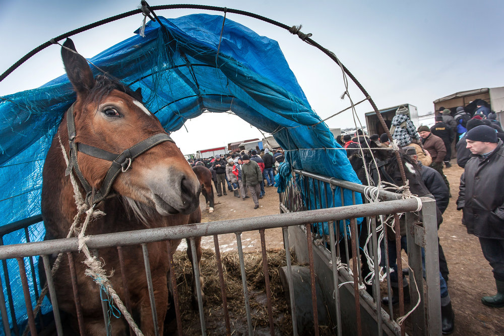 . A horse is displayed at the annual horse market in Skaryszew, Poland on February 18, 2013. The horse market is the biggest and the oldest one in Poland, taking place every year since 1432. Polish animal rights campaigners heckled traders at the fair on Monday to try to prevent them from selling the animals for meat. following concern about the Europe-wide trade scandle in horse meat.  WOJTEK RADWANSKI/AFP/Getty Images