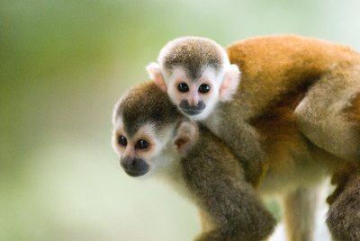 Wild Red-Backed Squirrel Monkeys (Mono Titis)