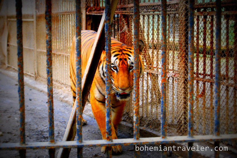 bengal tiger at Junagadh zoo.jpg