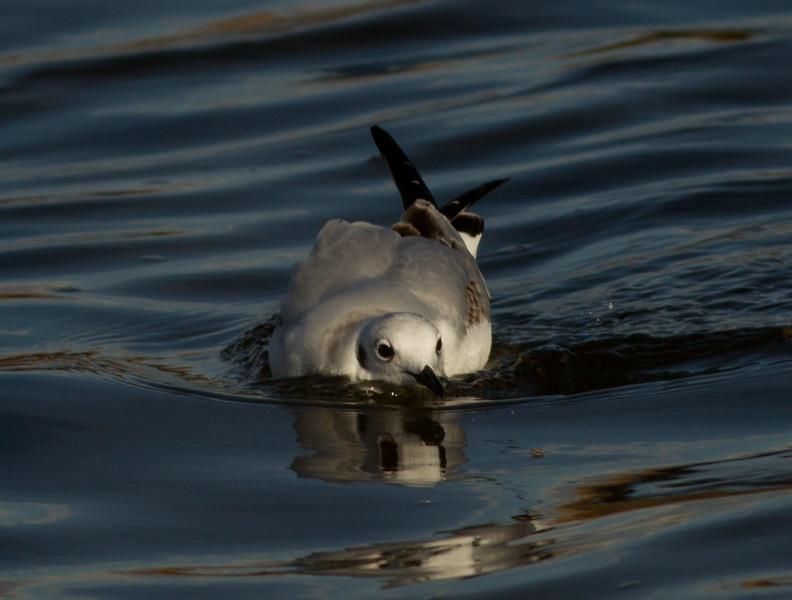 Bonapart Gull  San Elijo Lagoon  2013 11 22-2.CR2