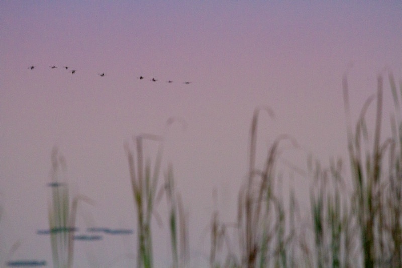 Sandhill Crane flock fly-in reflection Crex Meadows Grantsburg WI IMG_0099.jpg