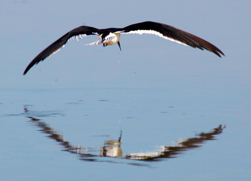 Black Skimmer reflecting in flight