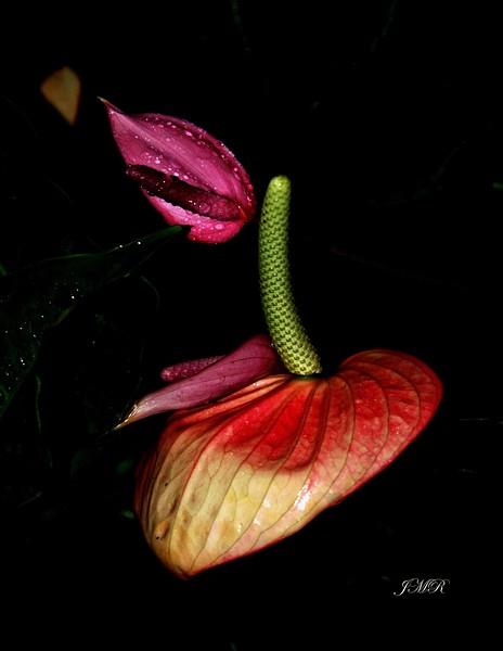 Puerto Rico Rain Forest stem flowe r copy.jpg