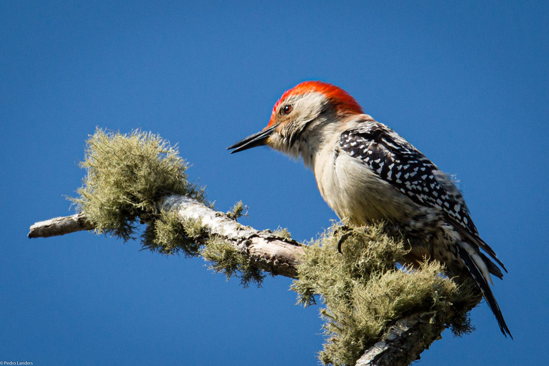 Red-bellied Woodpecker and Lichen