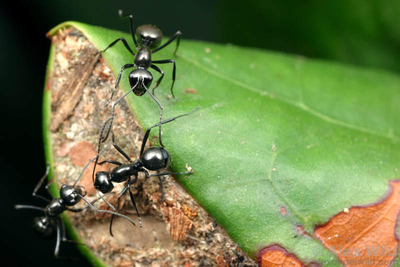 Polyrhachis (Cyrtomyrma) sp.  This weaver ant colony has made a nest by folding a leaf and sealing the open ends with silk and debris.  Cape York Peninsula, Queensland, Australia