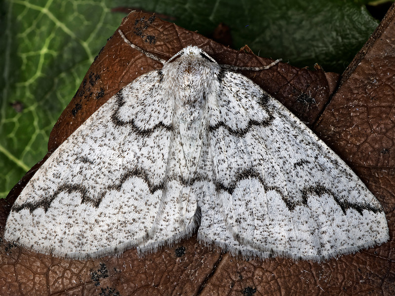 Packard's Girdle Moth