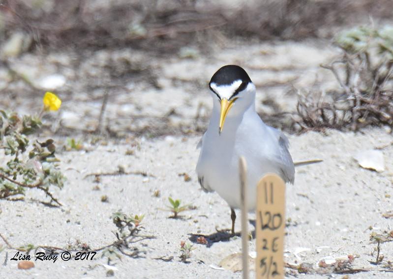 Least Tern - 5/20/2017 - Carlsbad Nesting Area