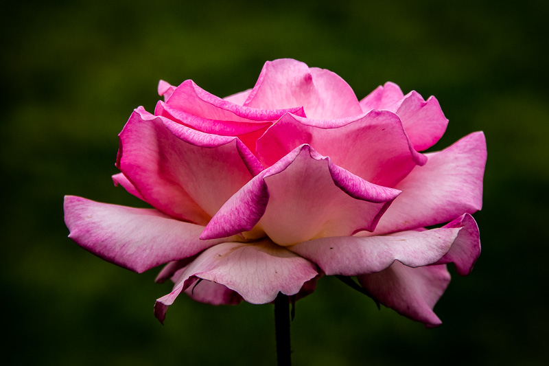 April 23 - Rose.jpg