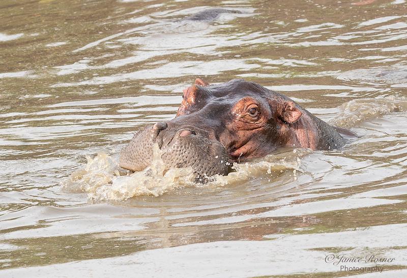 Hippo, My good side