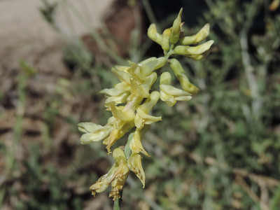 Coast Locoweed (Astragalus trichopodus)