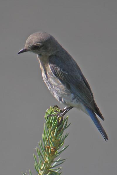 Bluebird - Eastern - female - Shoreview, MN