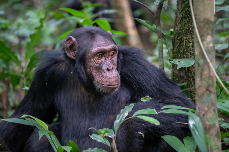 Uganda_T_Chimps-576.jpg