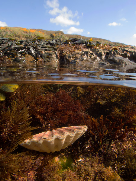 Scallop shell, Kimmeridge, Cornwall