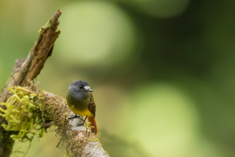 Ornate Flycatcher - Record - Sumaco, Ecuador