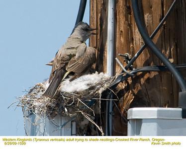 WesternKingbirdsA&N1599.jpg