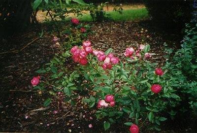 10 Deep-pink-baby-roses.jpg