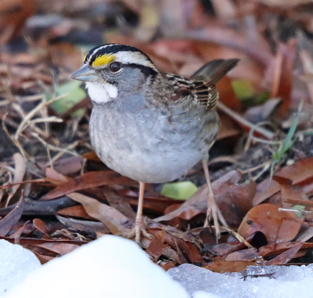 White-throated sparrow 2