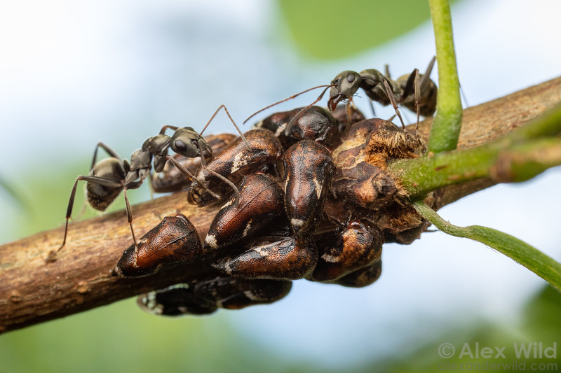 Formica subsericea tending Vanduzea arquata