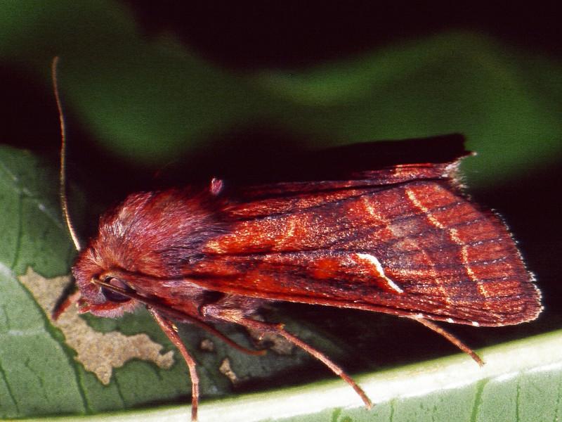 Haliophyle flavistigma (Noctuidae), West Maui