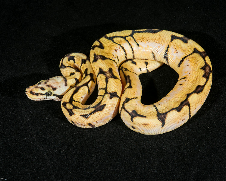 Bumble Bee F0614, $225, hold for Darlene