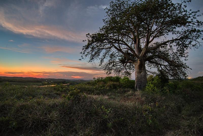 Baoba at sunset .jpg