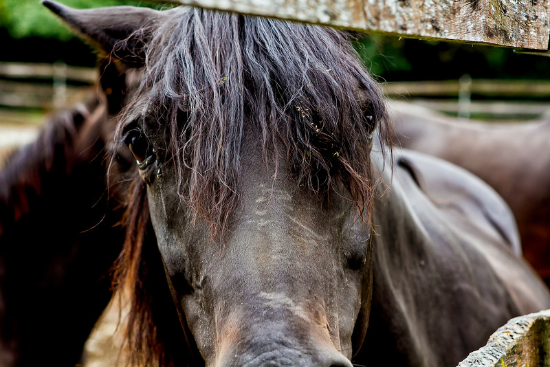 Vermont_Morgan Horse_129.jpg