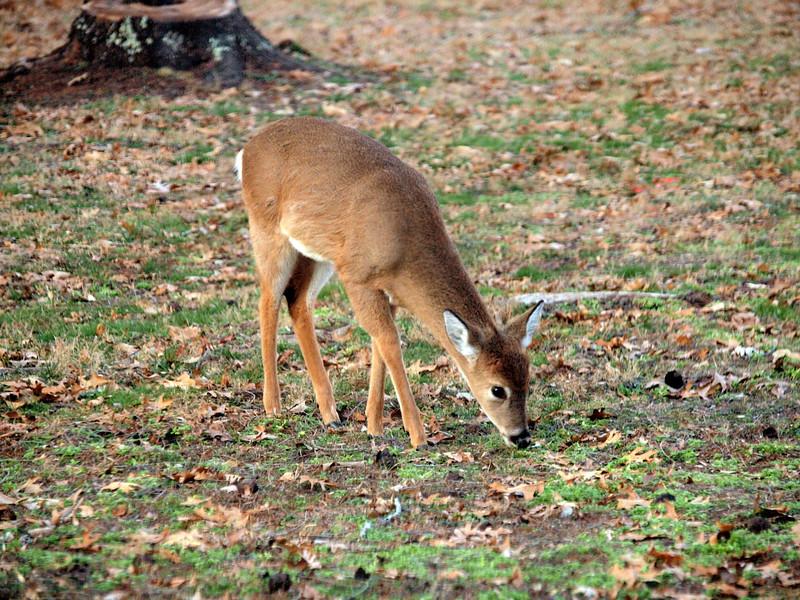 Deer Apco-024.JPG