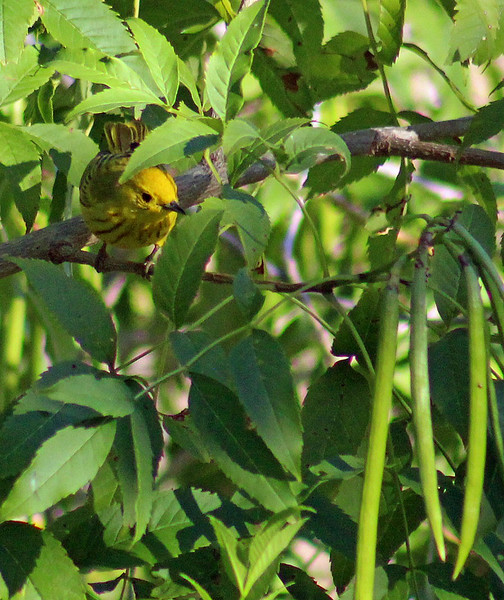 Yellow Warbler Migrant Male