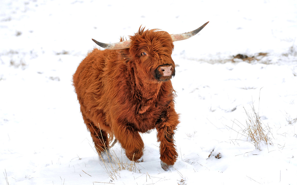 """. At the sound of facilities manager Rob Strom\'s truck, 1,100-pound \""""Blondie,\"""" one of a herd of six 30-month-old Scottish Highland steers comes running for lunch at Strom\'s 80-acre farm in Twig, just west of Duluth, on Wednesday December 12, 2012. Strom is part of a group based at Fitger\'s Brewhouse in Duluth who will feed the herd spent grain from the brewing process, breed them and use the meat in their restaurant.  (Pioneer Press: Richard Marshall)"""