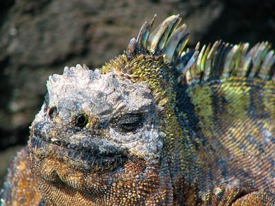 Marine Iguana smiling