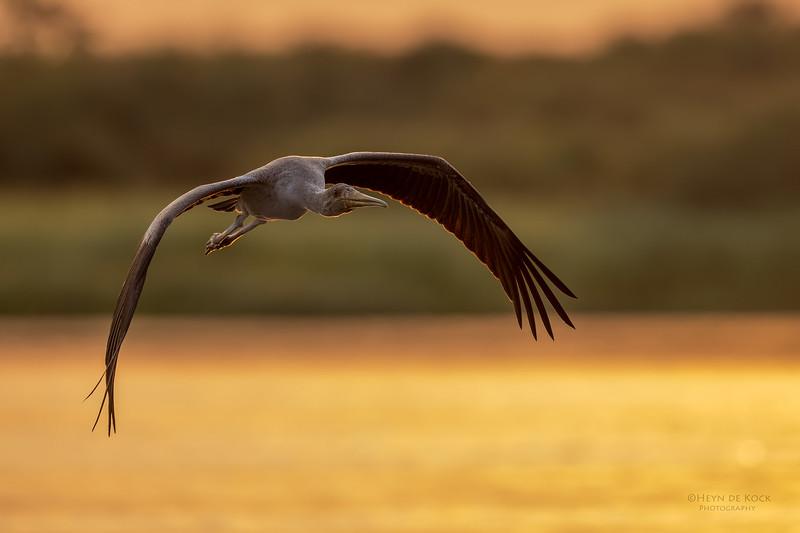 Yellow-billed Stork, imm, Chobe River, NAM, Oct 2016-5.jpg