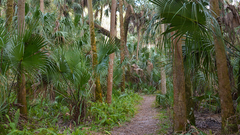 Cabbage palms and large live oaks