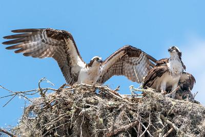 Osprey, Woodstorks, Anhingas