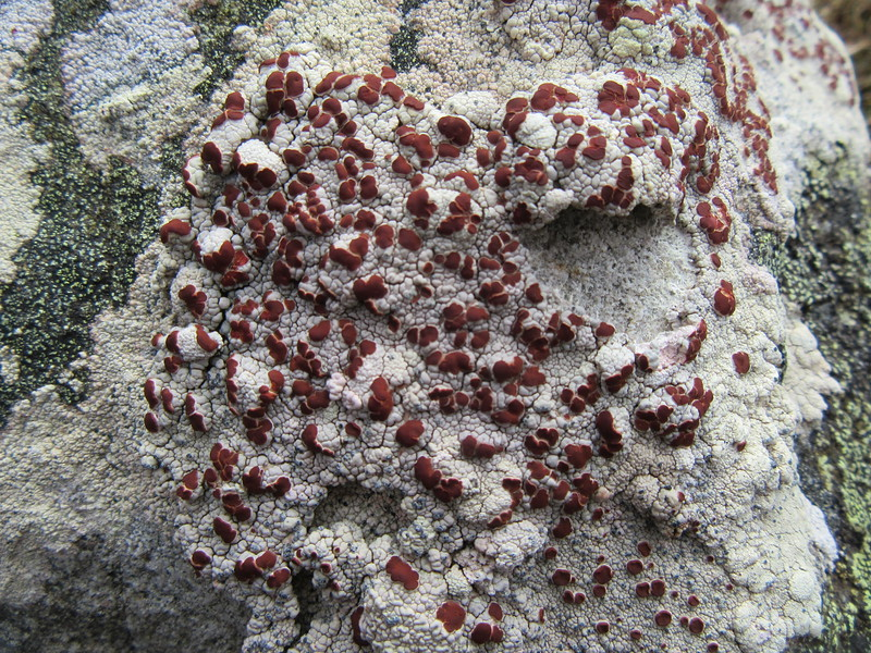 Blood spot lichen